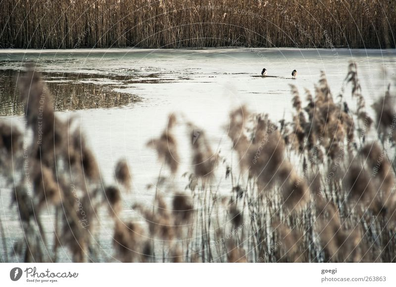 reed bog Environment Nature Landscape Plant Animal Water Winter Beautiful weather Wild plant Common Reed Pond Wild animal Duck 2 Pair of animals Ice