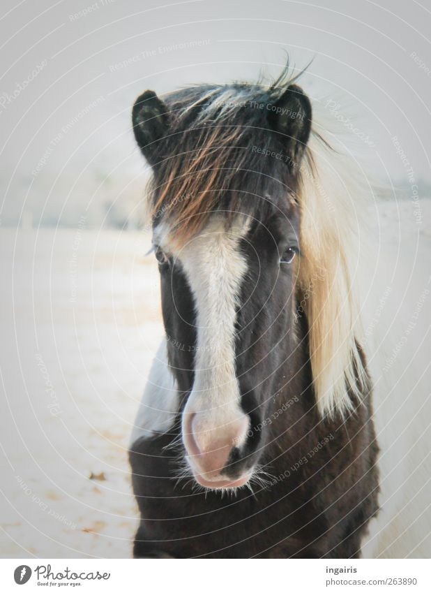 Lydia Happy Ride Nature Animal Ice Frost Snow Field Farm animal Horse Animal face Mane Iceland Pony Observe Looking Stand Wait Authentic Friendliness Beautiful