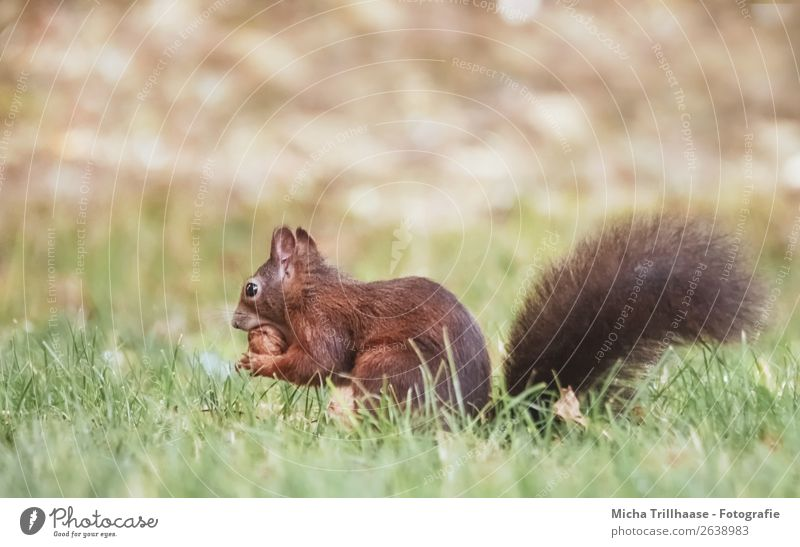Squirrel eats walnut Nut Walnut Environment Nature Animal Sunlight Beautiful weather Grass Meadow Wild animal Animal face Pelt Claw Paw Tails Eyes Ear Rodent 1