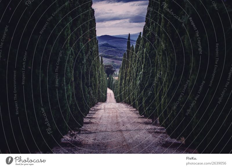Avenue with cypresses Vacation & Travel Tourism Environment Nature Landscape Tree Foliage plant Park Hill Street Lanes & trails Blue Green Moody Gravel road