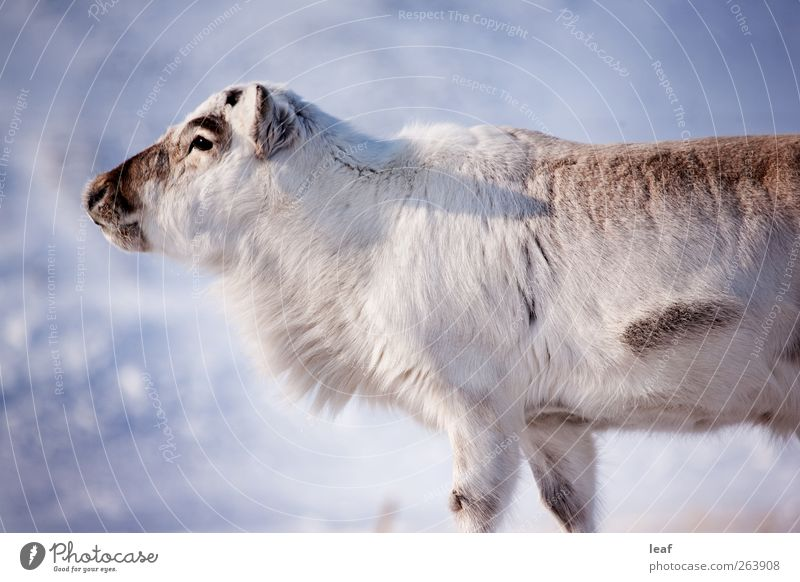 Reindeer Island Winter Snow Nature Animal Natural Wild White Spitzbergen Norway close up northern Extreme Condition The Arctic Deer doe Finland lapland Mammal