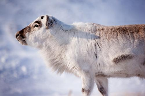 Reindeer Nature White Winter Animal Snow Wild Natural Island Mammal Deer Norway Finland Scandinavia Extreme North