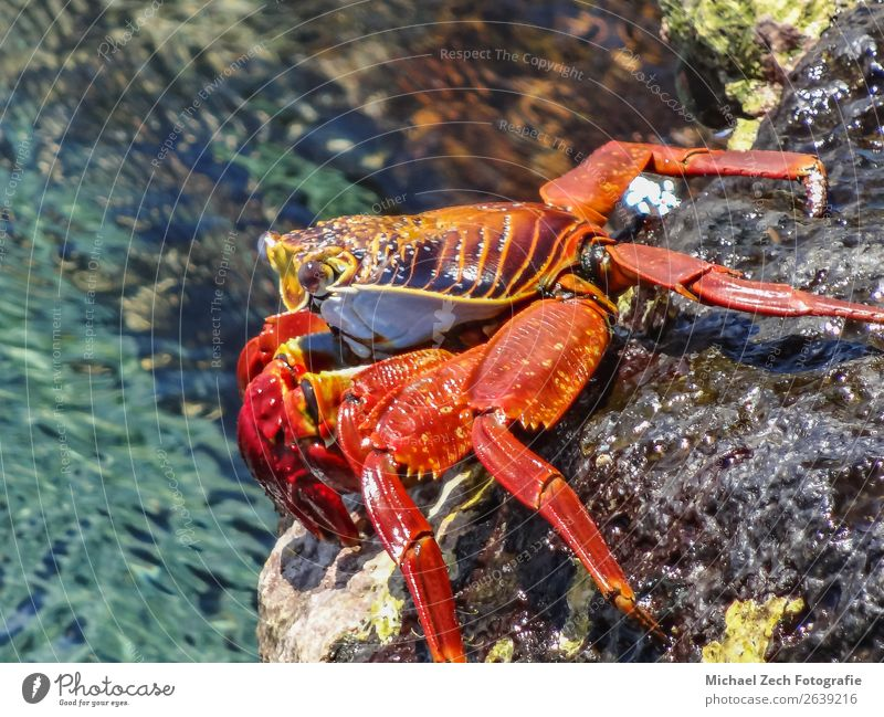 sally lightfoot crab sitting on stones on galapagos islands Beach Ocean Island Nature Animal Park Rock Bright Wild Yellow Red Colour animals in the wild claw