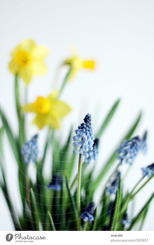 beginning of spring Nature Plant Flower Blossom Blue Yellow Green Wild daffodil Blur Spring Spring flower Narcissus Hyacinthus Muscari Colour photo