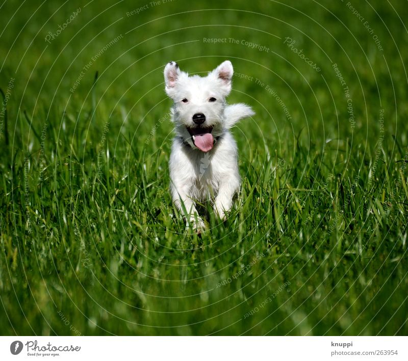Dog Nature White Green Summer Animal Meadow Movement Grass Baby animal Healthy Wild Walking Running Cute Ear