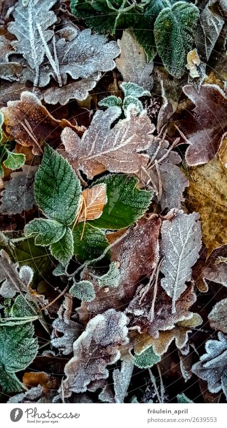 Nature Green Leaf Autumn Cold Brown Climate Ice crystal Hoar frost