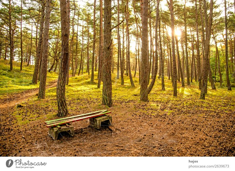 Pine forest at the Baltic Sea with bank Nature Flower Coast Bright Forest pines pine forest Scots pines Bench Green Poland counterpart sunny Autumn Colour photo