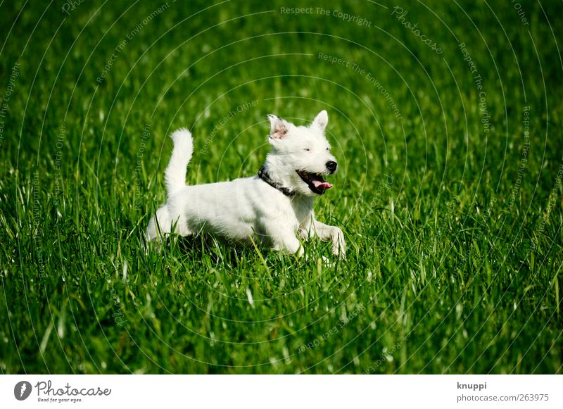 Dog Nature White Green Plant Summer Animal Meadow Movement Grass Happy Baby animal Field Wild Running Happiness