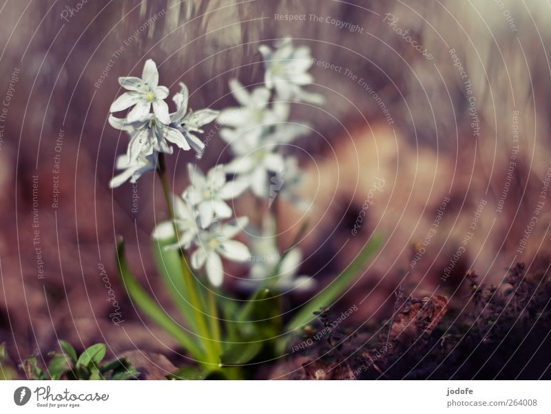 one sunshine, two sunshine... Environment Nature Plant Sun Spring Beautiful weather Flower White Blossoming Star (Symbol) Hyacinthus spring bloomers