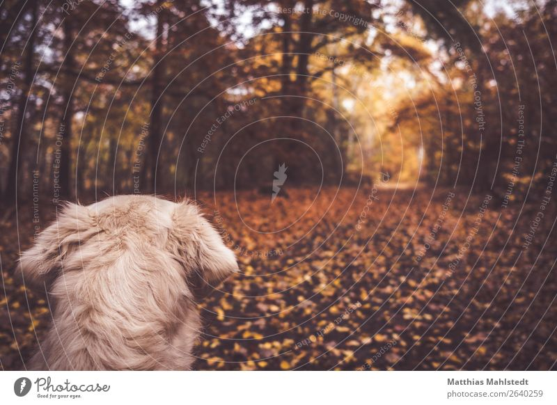 Forest view Landscape Autumn Animal Pet Dog Pelt Golden Retriever 1 Observe Looking Cuddly Natural Soft Brown Contentment Anticipation Love of animals Calm