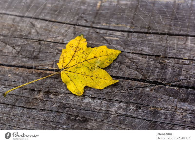 Yellow leaf on the wooden board Design Decoration Wallpaper Environment Nature Plant Autumn Tree Leaf Forest Collection Wood Rust Old Bright Natural Brown Gold