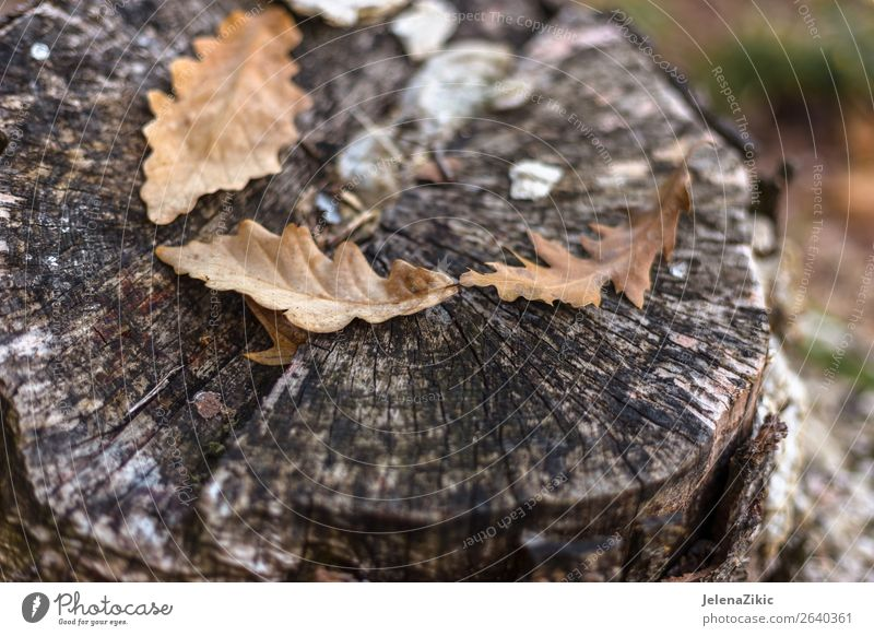 Oak leaves on the old stump in autumn Beautiful Wallpaper Environment Nature Plant Autumn Tree Leaf Park Forest Wood Old Dark Bright Natural Brown Yellow Gold