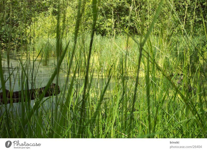 reed Pond Common Reed Footbridge