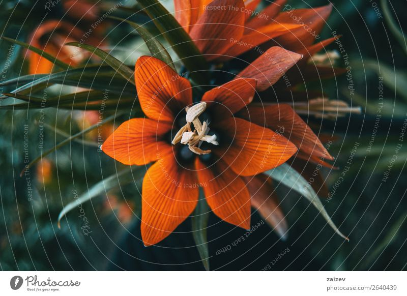 Details of a red flower of fritillaria imperialis Beautiful Summer Garden Nature Plant Flower Leaf Blossom Park Blossoming Natural Red Crown imperial