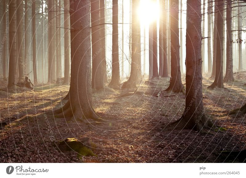 tann Environment Nature Landscape Plant Sun Sunrise Sunset Spring Summer Climate Beautiful weather Tree Spruce Fir tree Coniferous forest Tree trunk Forest