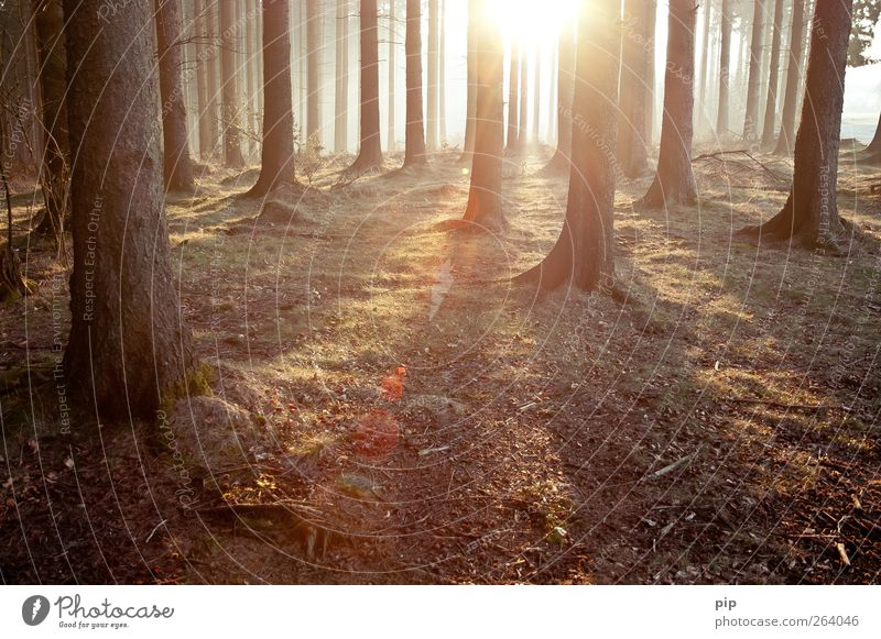 grove Environment Nature Landscape Plant Sun Sunrise Sunset Summer Climate Beautiful weather Tree Tree trunk Fir tree Spruce Coniferous forest Forest Fresh