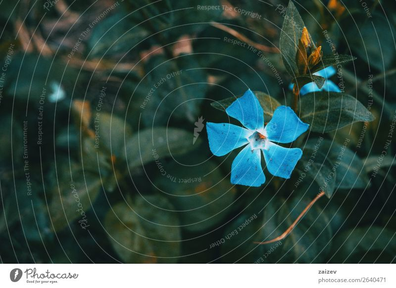 Close-up of an isolated and blue flower of vinca major with leaves background Summer Garden Decoration Nature Plant Flower Park Meadow Dark Bright Small Natural