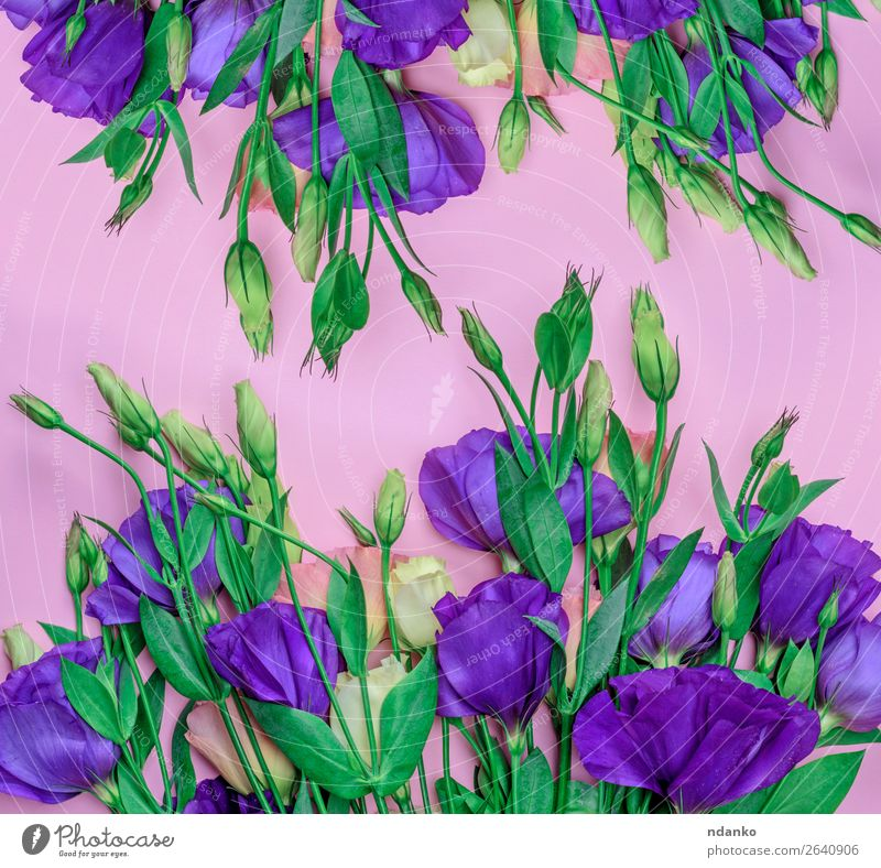 fresh blooming flowers Eustoma Lisianthus Nature Plant Blue Colour Green Flower Leaf Blossom Natural Feasts & Celebrations Garden Pink Bright Decoration Fresh