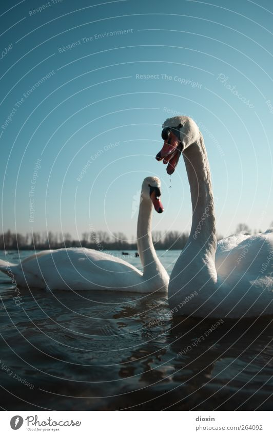 Swan choir for your birthday Environment Nature Water Sky Cloudless sky Weather Beautiful weather Animal Wild animal Bird Wing 2 Pair of animals