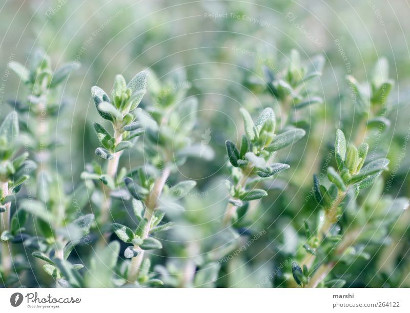 thyme Nature Landscape Plant Spring Summer Leaf Foliage plant Agricultural crop Field Green Herbs and spices Herb garden Blur Colour photo Spicy
