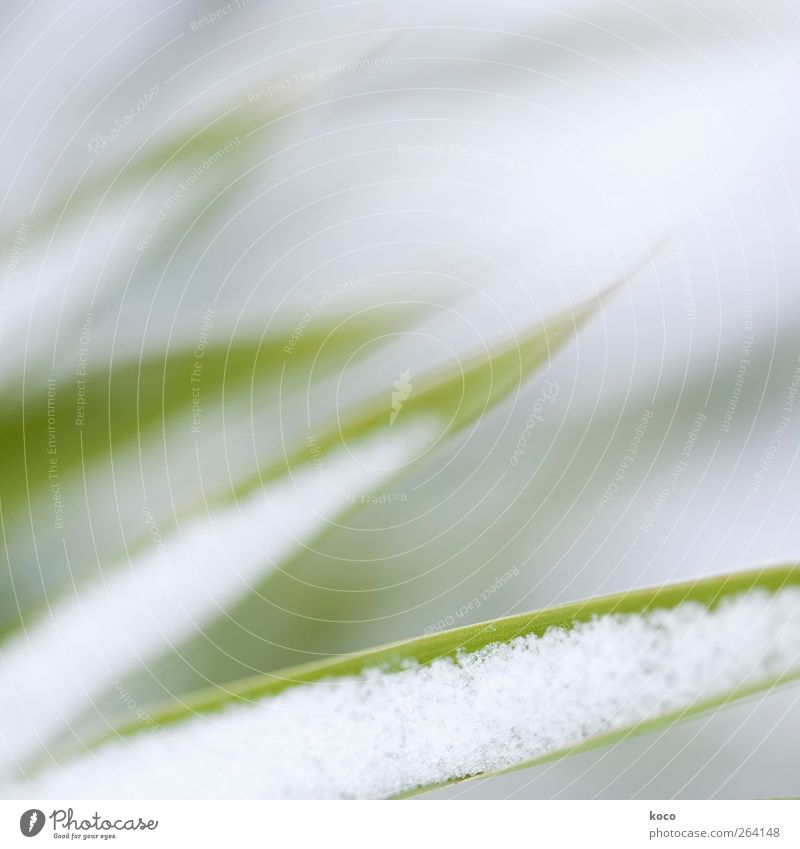 Nature White Green Beautiful Plant Winter Leaf Environment Cold Snow Gray Grass Line Fresh Esthetic Growth