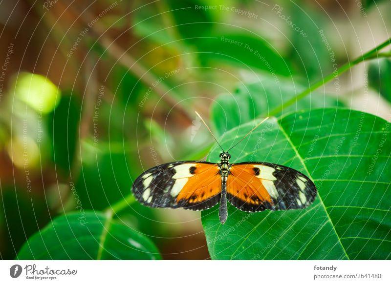 Heliconius melpomene dorsal view_Postman Butterfly Nature Plant Animal Wild animal 1 Green Orange Black Papilio melpomene Camouflage deterrence back view plan