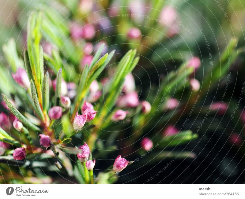 Nature Green Plant Flower Leaf Blossom Fruit Pink Bushes Needle Foliage plant Coniferous trees