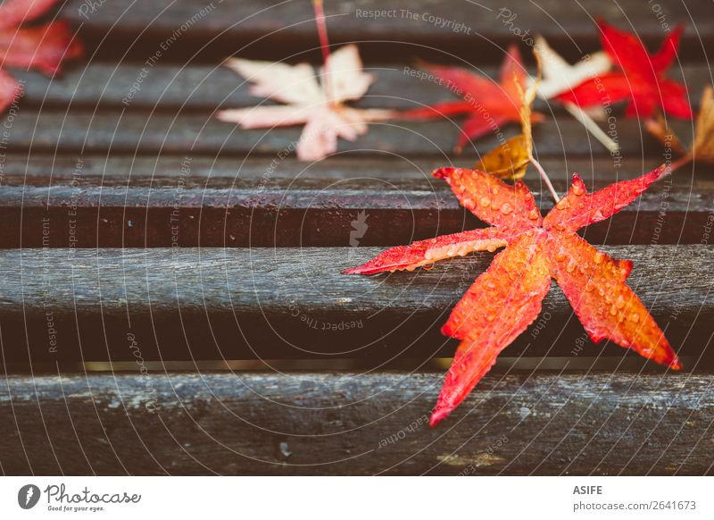 Red maple leaves on wooden bench Nature Autumn Tree Leaf Drop Wet fall Fallen colorful water Dew moisture Seasons acer Bench Humidity Exterior shot