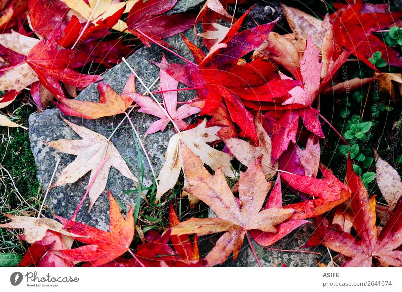 Red maple leaves on the ground Garden Nature Autumn Moss Leaf Stone Drop Wet Green fall water dry Fallen Acer Humidity Seasons colorful Exterior shot Detail