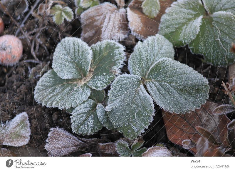chill Plant Earth Winter Ice Frost Leaf Agricultural crop Garden Crystal Freeze Cold Brown Gray Green Black Silver White Nature Frozen hard ground
