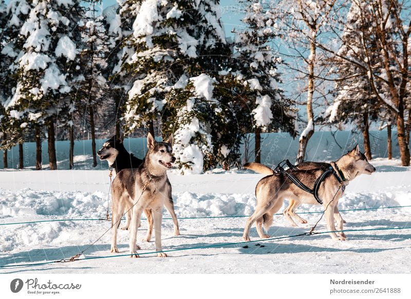 huskies Vacation & Travel Adventure Far-off places Winter Snow Winter vacation Sports Winter sports Nature Sun Beautiful weather Ice Frost Tree Forest Animal