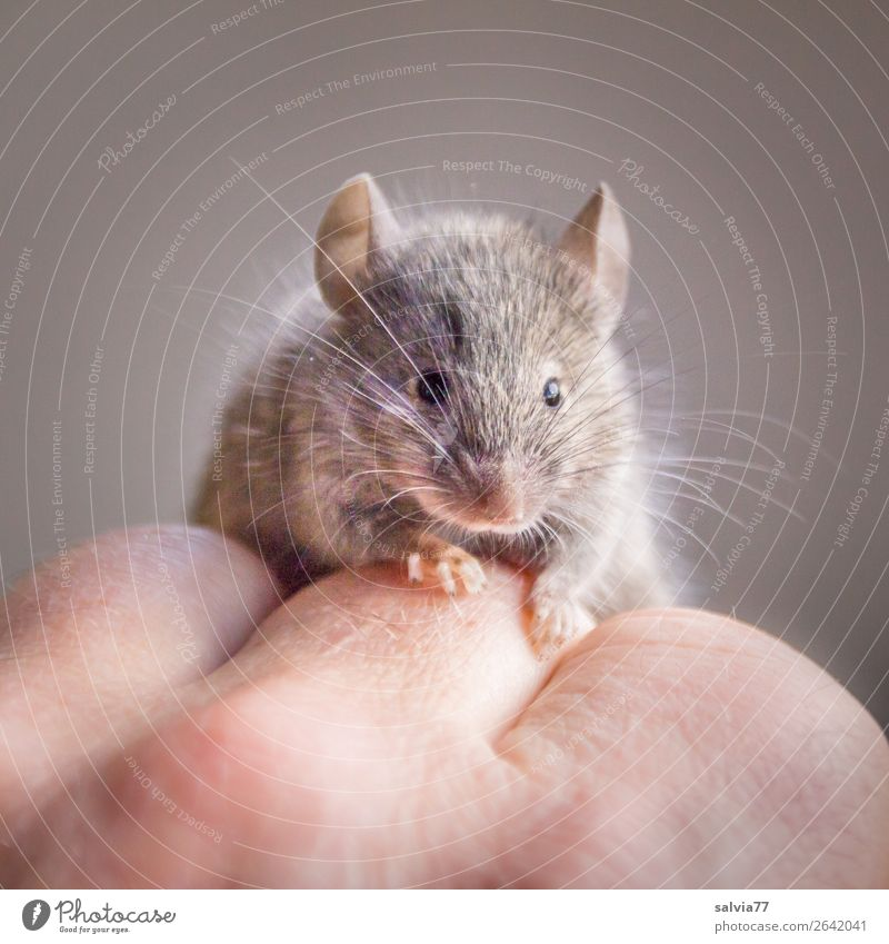cute pet Animal Pet Wild animal Mouse Animal face Pelt Claw Paw Rodent House mouse 1 Observe Crawl Small Curiosity Cute Trust Love of animals Whisker Delicate