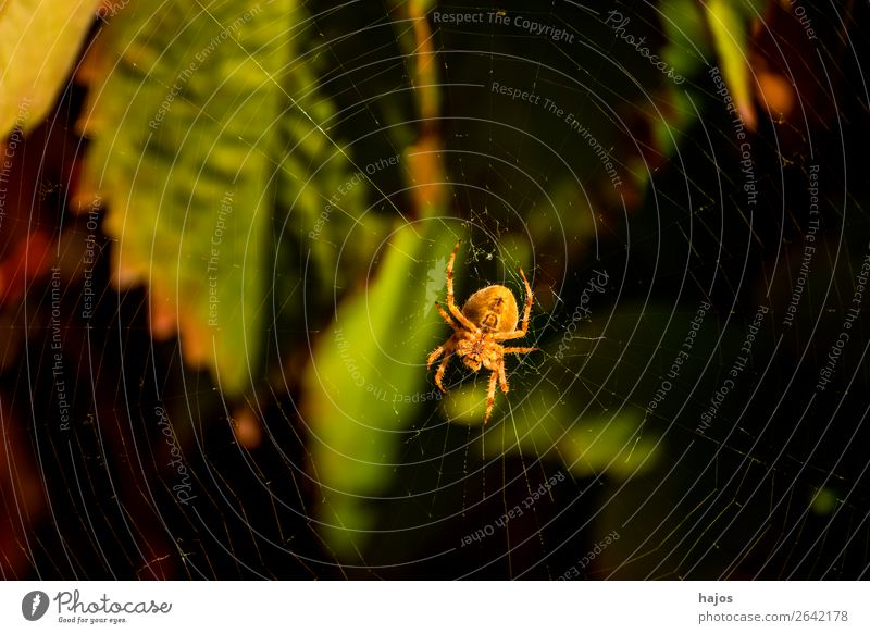 Spider in her web Internet Nature Brown Cross spider Orb weaver spider Net Insect Close-up Leaf Large Creepy fauna animal world lurked Colour photo