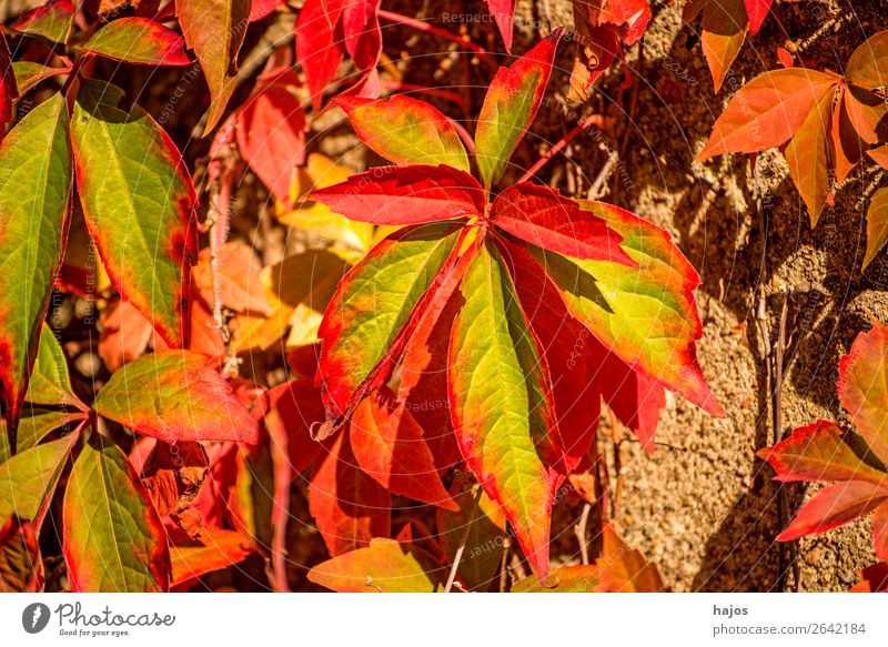wild wine in autumn colours Nature Plant Wall (barrier) Wall (building) Yellow Red Virginia Creeper Leaf foliage Autumnal colours Autumn leaves Green
