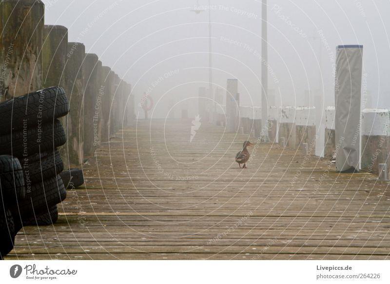 White Animal Black Yellow Dark Gray Bird Going Fog Walking Footbridge Duck