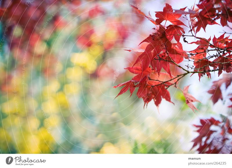 Nature Tree Red Leaf Spring Autumn leaves Autumnal Maple tree Autumnal colours Twigs and branches Spring fever Suspended Maple branch