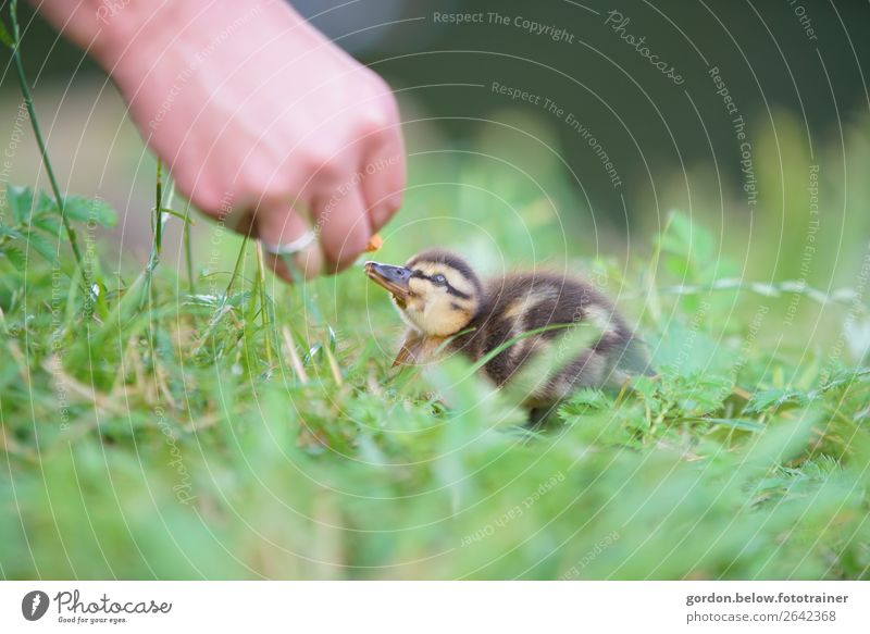 love of animals Hand 1 Human being Nature Plant Animal Grass Meadow Wild animal goose chicks Baby animal Observe Feeding Communicate Happy Small Curiosity Blue