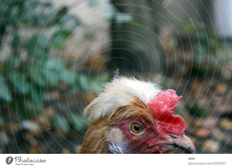 Old Red Animal Eyes Bird Crazy Feather Observe Animal face Beak Pride Barn fowl Farm animal Conceited Rooster Crest
