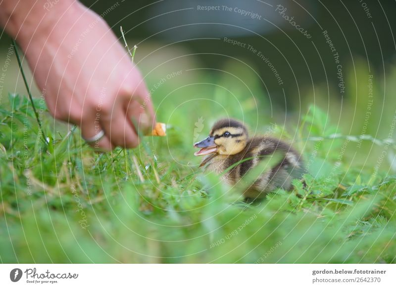friendships Body Hand Nature Spring Grass Meadow goose chicks 1 Animal Feeding To enjoy Happy Blue Brown Gold Gray Green Orange Black White Contentment