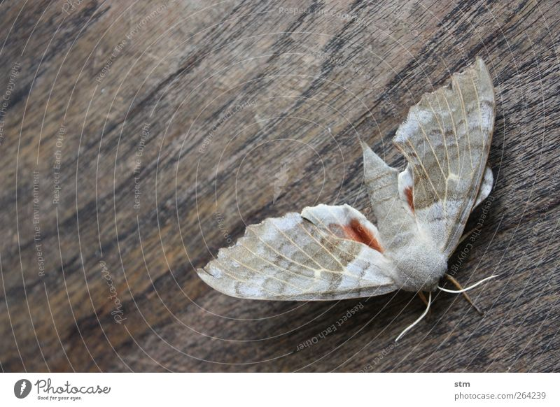 Old Beautiful Animal Wood Gray Wild animal Exceptional Esthetic Authentic Wing Insect Feeler Moth Dark background
