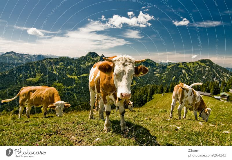 MUHAHA!! Mountain Environment Nature Landscape Sky Clouds Summer Meadow Alps Peak Cow 3 Animal Looking Stand Esthetic Natural Sustainability Bavaria Pasture