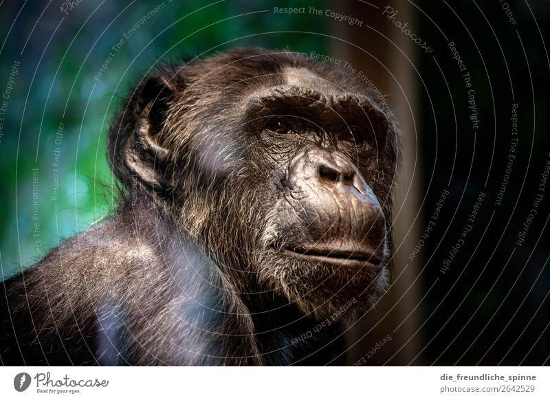 Thoughtful Chimpanzee Nature Animal Climate change Berlin Germany Europe Wild animal Zoo bonobo 1 Brown Gray Green Monkeys Africa Threat Meditative Loneliness