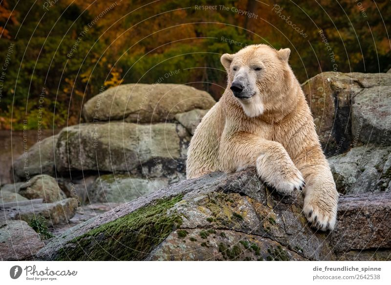 Polar bear in autumn Environment Nature Animal Autumn Climate Climate change Weather Hill Rock Berlin Germany Europe Wild animal Zoo Polar Bear 1 Yellow Gold
