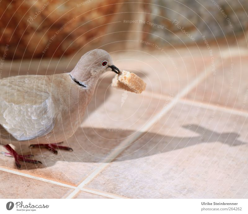 Animal Bird Wild animal Stand Part Tile Animal face Breakfast To feed Section of image Pigeon Beak Partially visible Feeding Crumbs