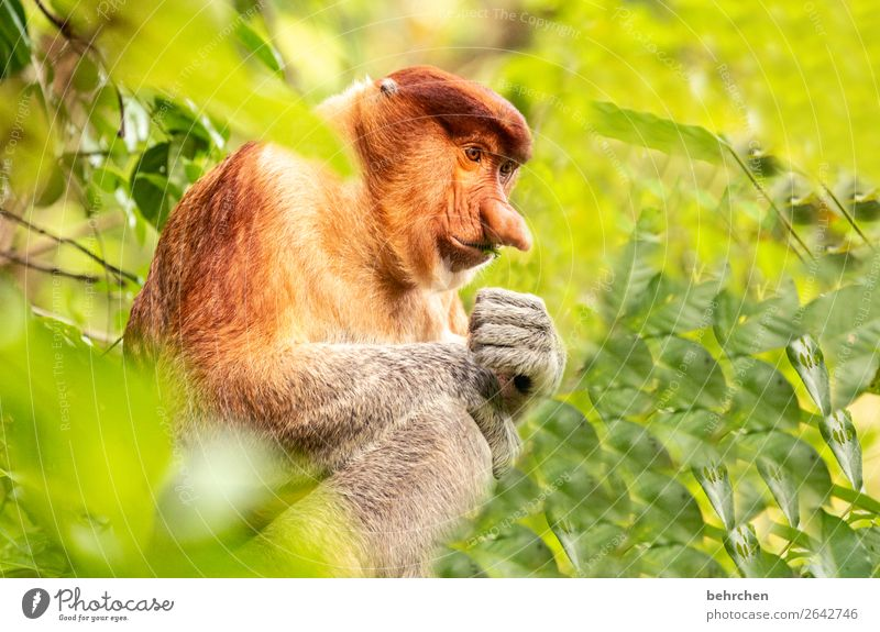 johannes | monkey with big nose Environmental protection Asia Sunlight Animal protection Vacation & Travel Far-off places Adventure Trip Wild animal