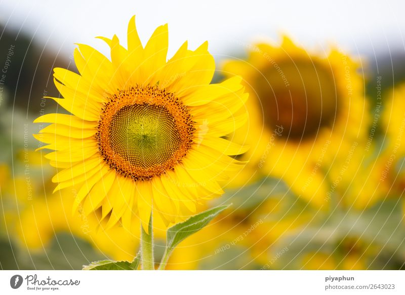 Beautiful of a Sunflower agriculture Asia blooming Blossom Bright calcium Close-up combination extracted field Floral Flower Garden hair landmark Landscape