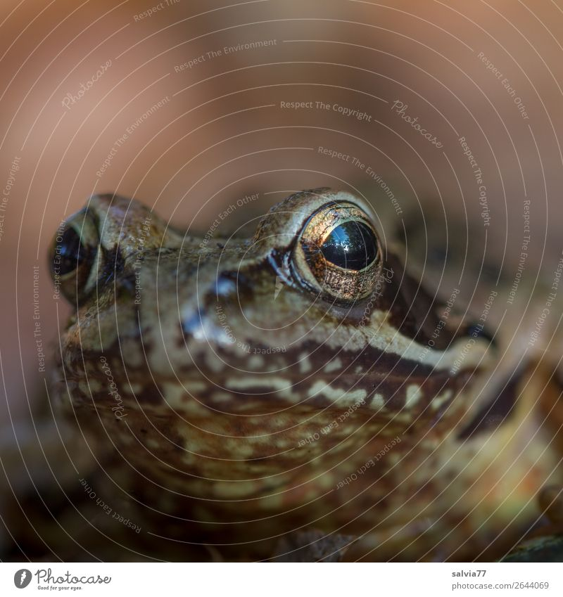 Nature Animal Brown Observe Watchfulness Frog Fairy tale Amphibian Frog eyes Grass frog