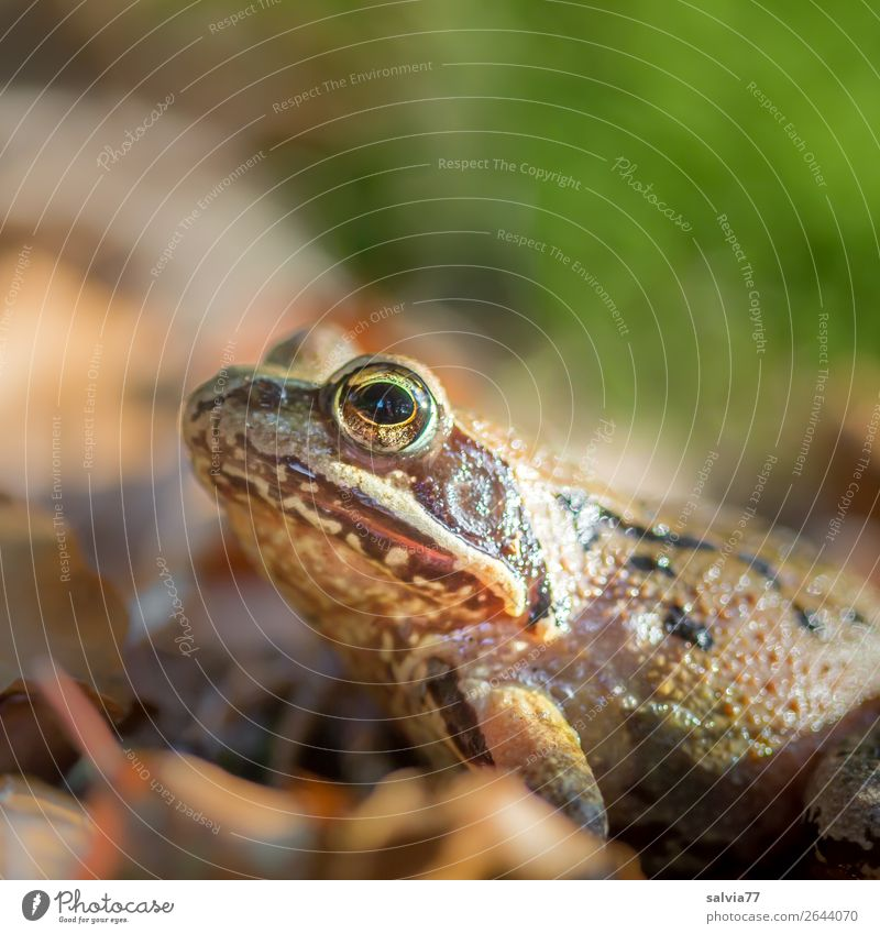 Outstanding frog eyes. Environment Nature Earth Autumn Leaf Forest Animal Wild animal Frog Amphibian 1 Observe Discover Sit Brown Green Colour photo