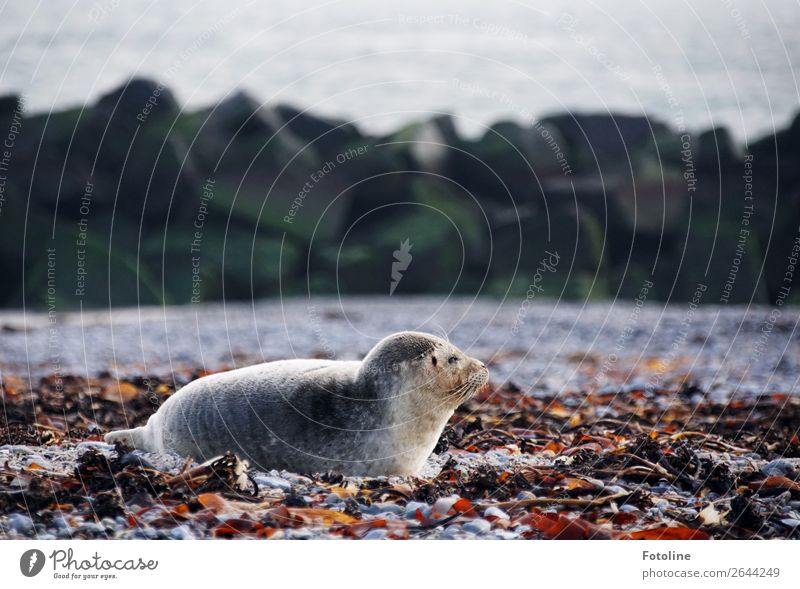 Heligoland Animal Wild animal Pelt 1 Free Bright Cold Near Wet Natural Gray Seals Helgoland Lie Gray seal Mammal Land-based carnivore Colour photo Multicoloured
