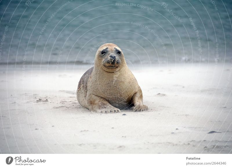 seal yoga Environment Nature Landscape Animal Elements Earth Sand Water Winter Coast Beach North Sea Ocean Island Wild animal Animal face Pelt 1 Free Bright